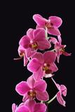 Orchidee / orchid Phalaenopsis