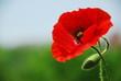Quadro Single poppy in Normandy