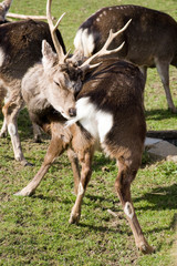 Japanese Sika Deer scratching
