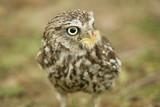 Little John Hawk Owl poster