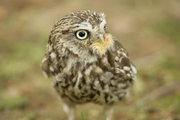 Little John Hawk Owl