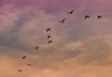 Ibis flying poster