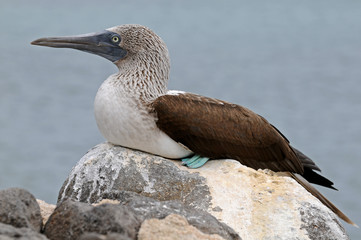 Blue-footed booby on the rock