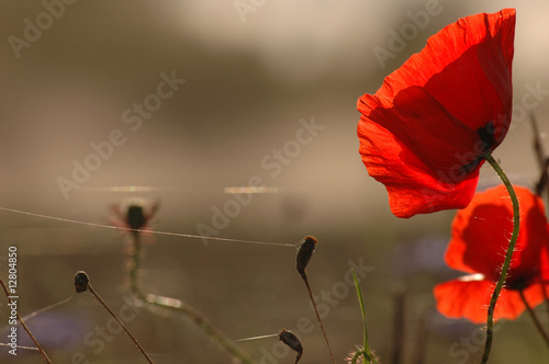 Poppies © Andrejs Skangals