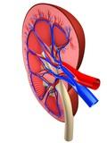 querschnitt einer niere