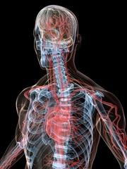 skelett mit vaskulärem system und nerven system