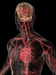 blutkreislauf und nervensystem des menschen