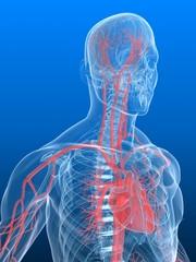 vaskuläres system des menschen