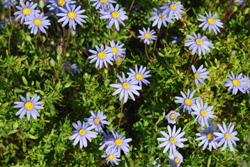 Beautiful Blue/Purple Daisys on a Park, Lisbon