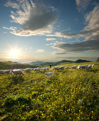 shepherd with dog and sheep grazing flowered field at sunrise