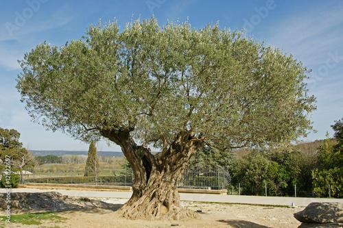 Foto op Canvas Olijfboom olivier millenaire