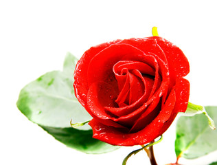 red rose over white