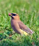 A cedar waxwing holds a service berry in its beak poster