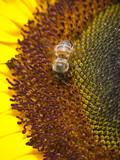 Bee Harvesting Pollen poster