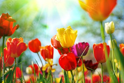 Foto op Aluminium Bloemen Tulips
