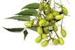 grappe de fruits et feuille de neem