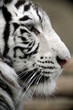 White Tiger Portrait Close Up