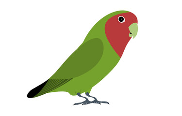 A isolated green lovebird