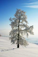 Winterzauber. Baum mit Rauhreif