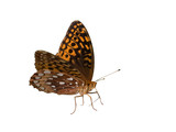 great spangled fritillary on a white background