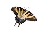 yellow swallowtail on a white background