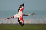Lesser Flamingo (Phoeniconaias minor) in flight at Lake Nakuru