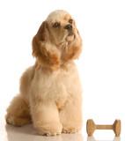 obedience training - spaniel sitting beside dumbbell poster