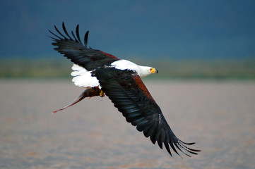 African fish eagle catch fish at lake Baringo