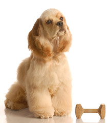 obedience training - spaniel sitting beside dumbbell