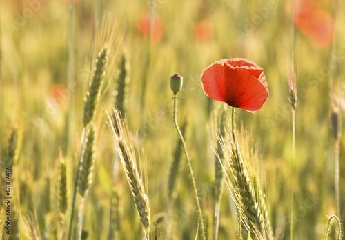 Red poppy 2 - 12887417