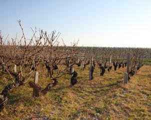 vigne non taillée chateau Lagrange (33) Gironde