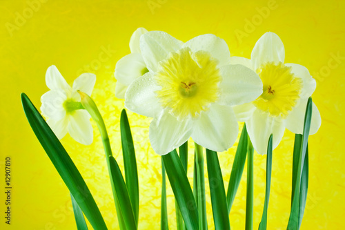 White jonquils on a yellow background