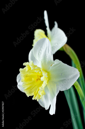 Two white jonquils on a black background