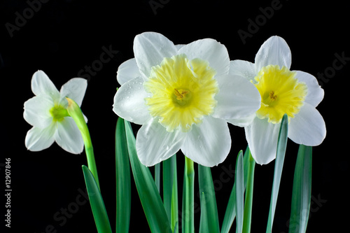 White jonquils on a black background