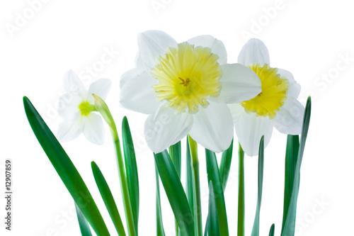 White jonquils on a white background