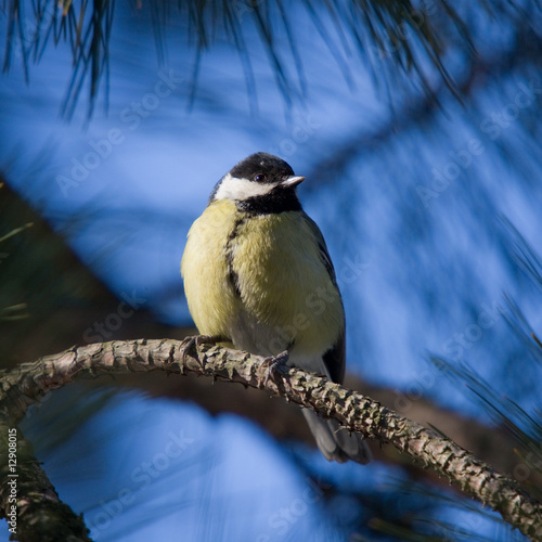 yellow tit on blue background