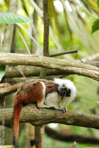 cotton top tamarin monkey