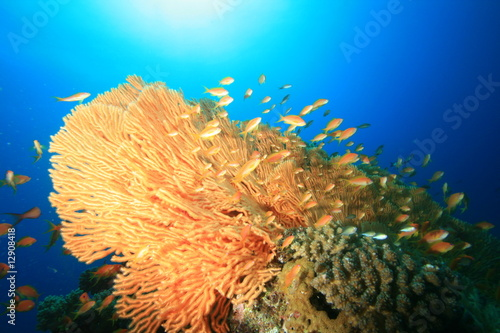 Gorgonian Fan Coral and Lyretail Anthias