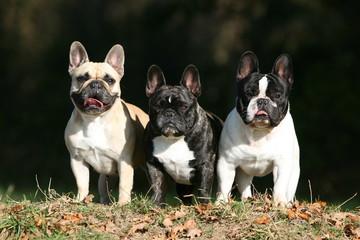trois bouledogues français debout de face