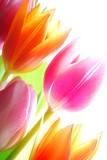 Spring tulips - 12942003