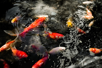 Active colourful goldfish
