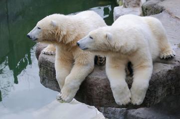 Eisbären synchroner Seitenblick