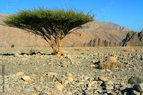 Single tree in Omans Desert