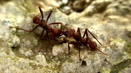 Trophallaxie entre deux fourmis manioc.