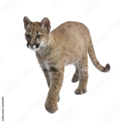 Foto op Plexiglas Puma Puma cub - Puma concolor (3,5 months)