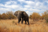 Big elephant in Kruger park South Africa