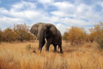 Big elephant in Kruger park South Africa