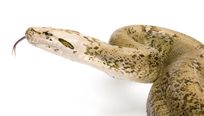 Burmese Python - Python molurus bivittatus  - granite phase