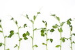 Branches of green peas on white background