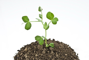 Pea seedlings in soil